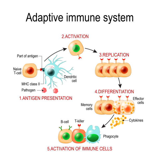 Adaptive immune system from Antigen presentation to activation of other immune cells. Adaptive immune system from Antigen presentation to activation of other immune cells. specific immune. T-helper and T-killer cells. Memory and Effector cells. Viruse, Lymphocyte, antibody and antigen. Vector diagram for educational, biological, and science use biological cell stock illustrations