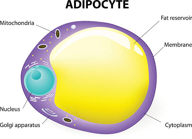 Adipocyte structure. fat cell fat cell. Adipocyte is responsible for accumulation energy,  obesity, weight gain and weight loss. Vector diagram. adipose tissue stock illustrations