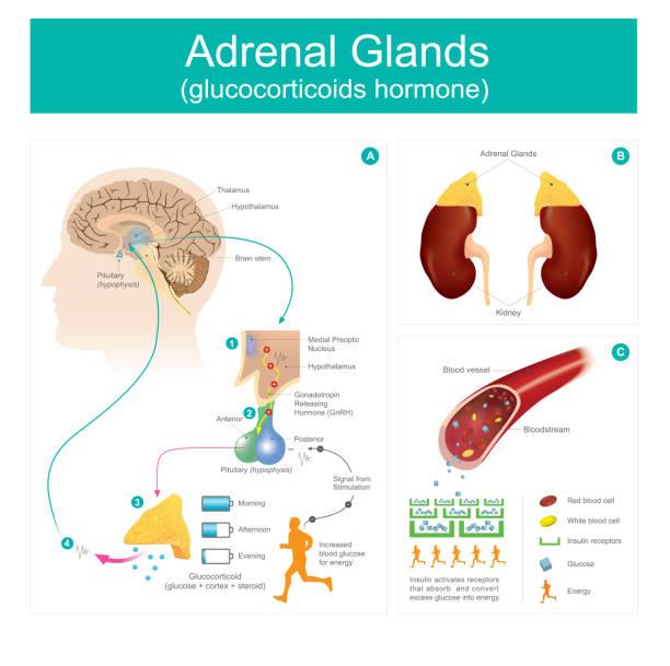 Adrenal Gland glucocorticoids hormone. vector art illustration