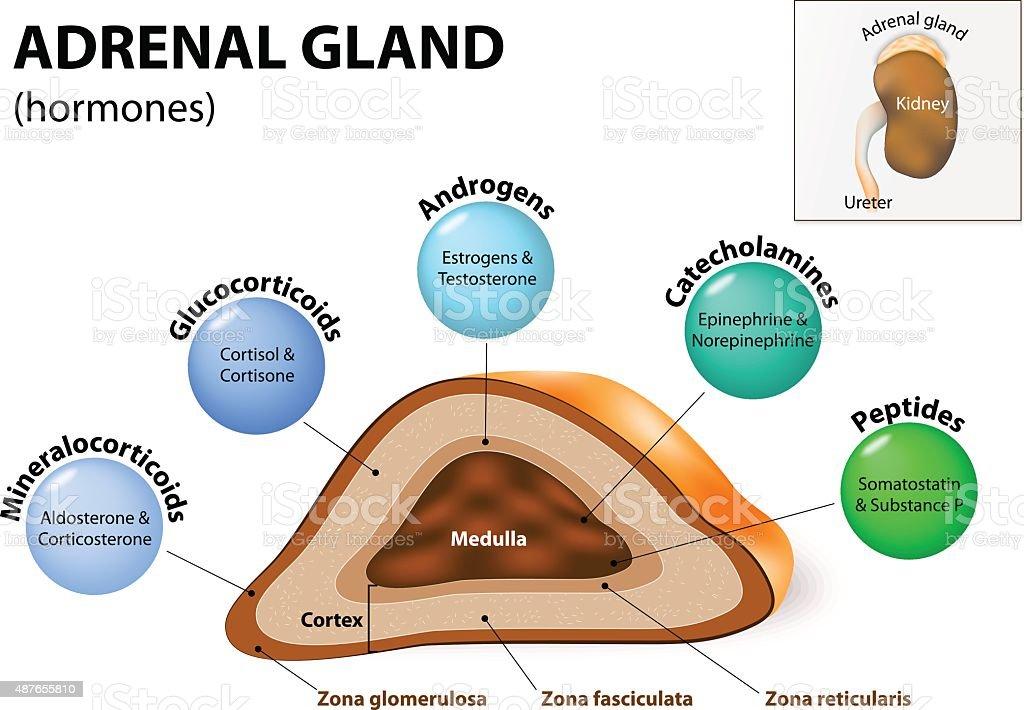 Adrenal gland hormone secretion vector art illustration