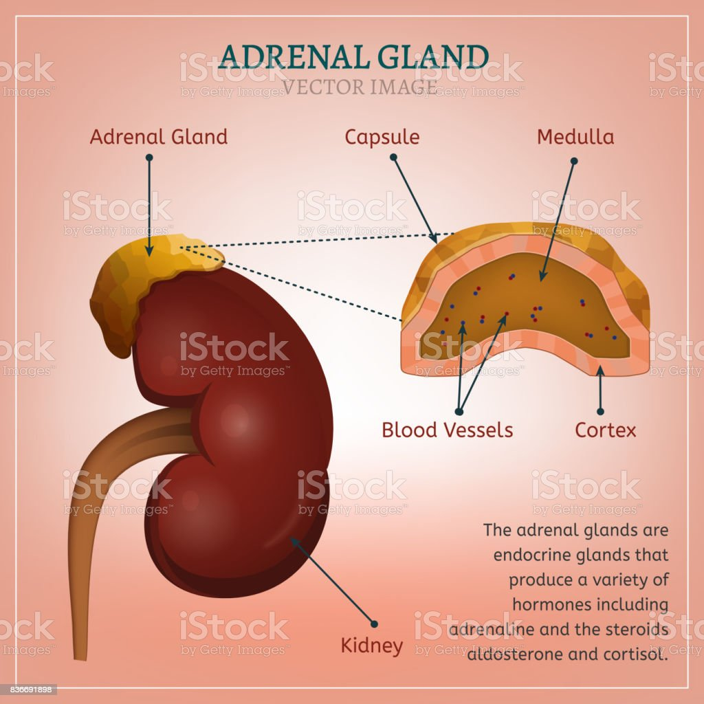 Adrenal Gland Image Stock Vector Art More Images Of Adrenaline