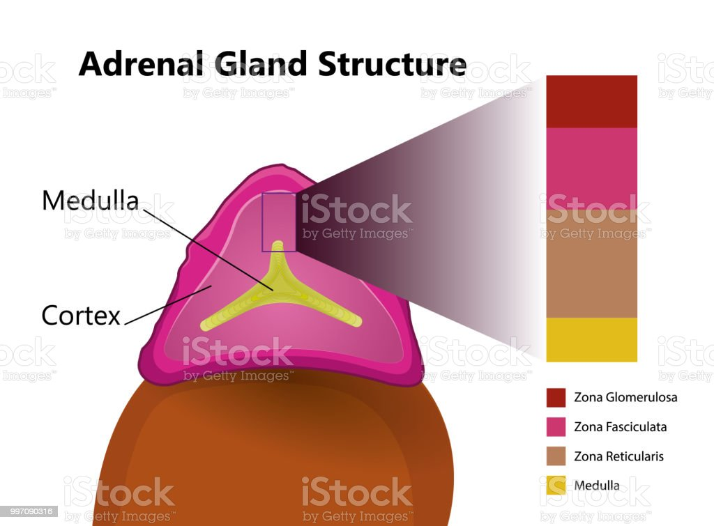 Adrenal Gland Structure Vector Illustration Stock Vector Art More