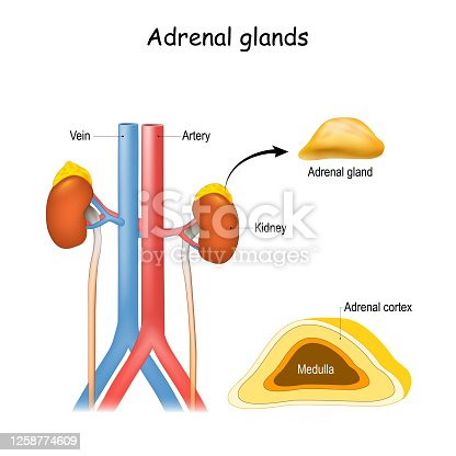 Adrenal glands anatomy. Kidney and ureter, aorta and Inferior vena cava. Structure and cross section of suprarenal glands. endocrine system.
