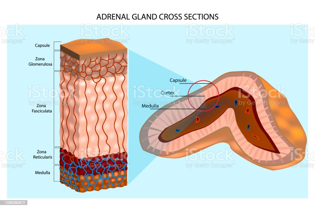 Adrenal Glands Diagram Stock Vector Art More Images Of Adrenaline