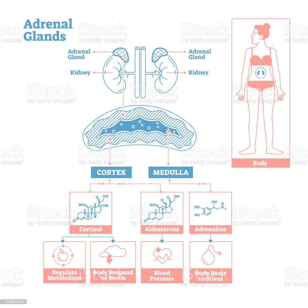 Ilustración de Glándulas Suprarrenales Del Sistema Endocrino ...