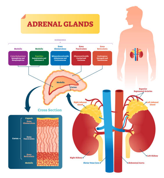 Adrenal glands vector illustration. Labeled scheme with hormones types Adrenal glands vector illustration. Labeled scheme with all hormones types. Division in medulla, zona glomerulosa, fasciculata and reticulatis. Medical diagram with closeup right gland cross section. amino acid stock illustrations
