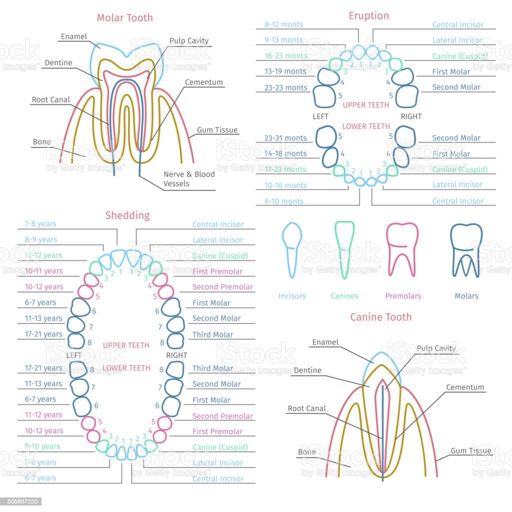 Gemütlich Zahn 14 Anatomie Ideen - Menschliche Anatomie Bilder ...
