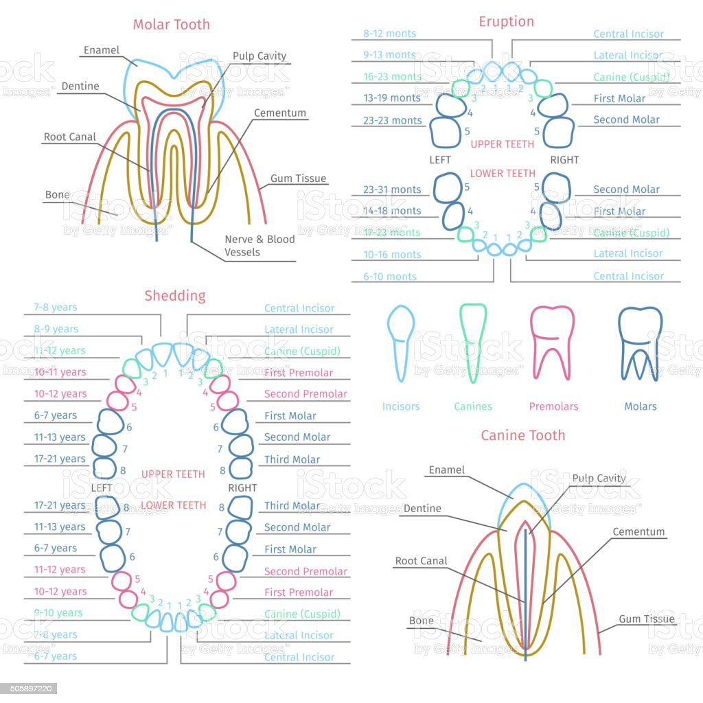 Adult and baby tooth dental anatomy vector infographics vector art illustration