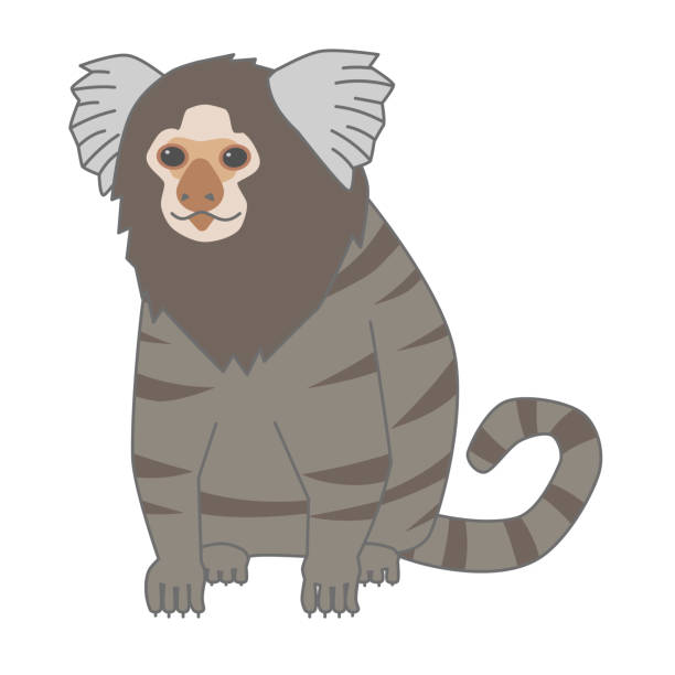 Adult vector illustration of common marmosets Adult vector illustration of common marmosets common marmoset stock illustrations