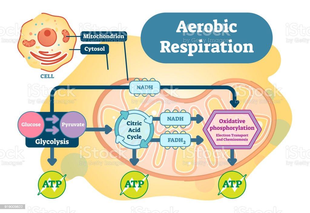 Aerobic respiration bio anatomical vector illustration diagram stock aerobic respiration bio anatomical vector illustration diagram royalty free aerobic respiration bio anatomical vector illustration ccuart Gallery