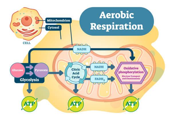bildbanksillustrationer, clip art samt tecknat material och ikoner med aerob respiration bio anatomiska illustration vektordiagram - data visualization co2
