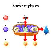 istock Aerobic respiration. Cellular respiration 1094575874