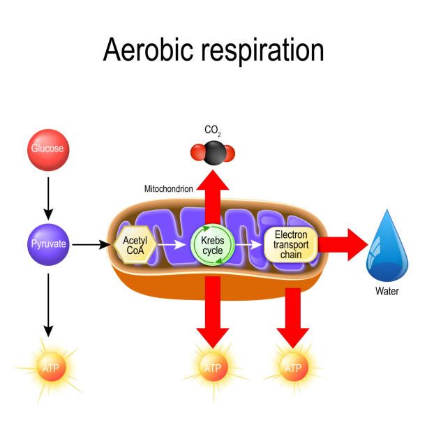 Aerobic respiration. Cellular respiration Aerobic respiration. Cellular respiration. Pyruvate enter the mitochondria in order to be oxidized by the Krebs cycle. products of this process are carbon dioxide, water, and energy. Vector diagram for educational, biological, science and medical use carbohydrate biological molecule stock illustrations