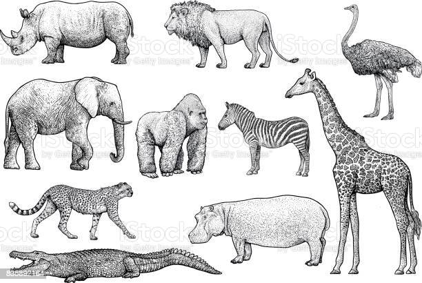 African animals illustration drawing engraving ink line art vector vector id835892164?b=1&k=6&m=835892164&s=612x612&h=04zsp2zdty95bukllcy9xqpb 3jmywsgyjbouk8f5pa=