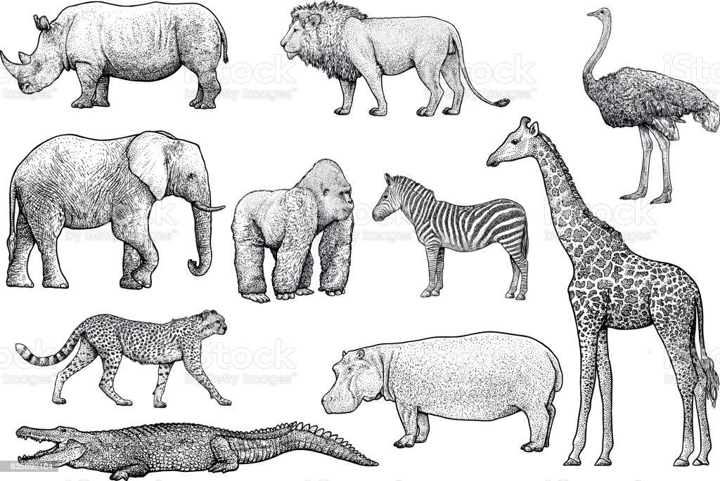 African animals illustration, drawing, engraving, ink, line art, vector - illustrazione arte vettoriale