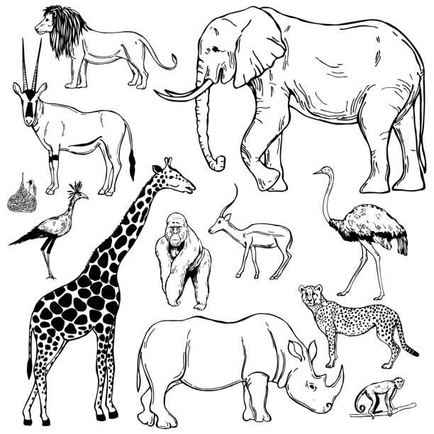 ilustrações, clipart, desenhos animados e ícones de animais africanos. ilustração do esboço do vetor. - conceitos e temas