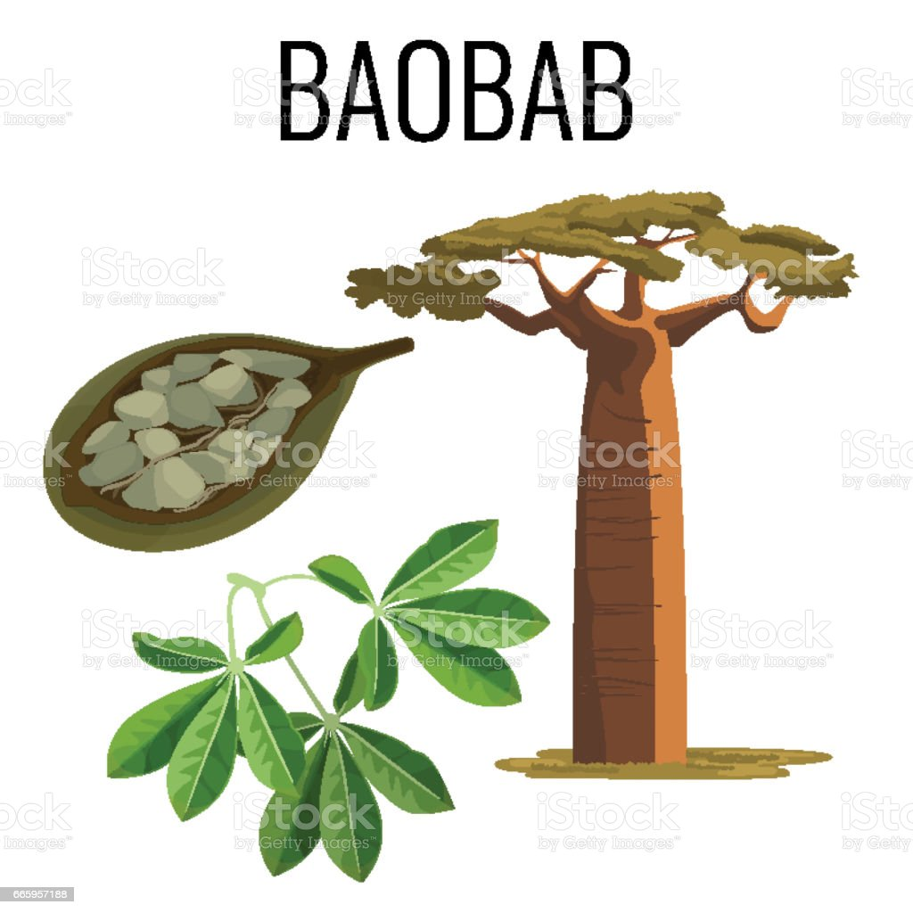 African baobab tree and fruit with seeds color icon emblem vector art illustration