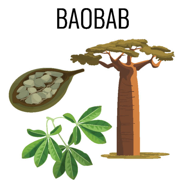Árbol africano baobab y la fruta con el emblema de icono de color de las semillas - ilustración de arte vectorial