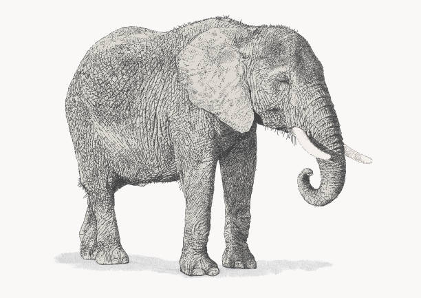 African Elephant Illustrations, Royalty-Free Vector ...