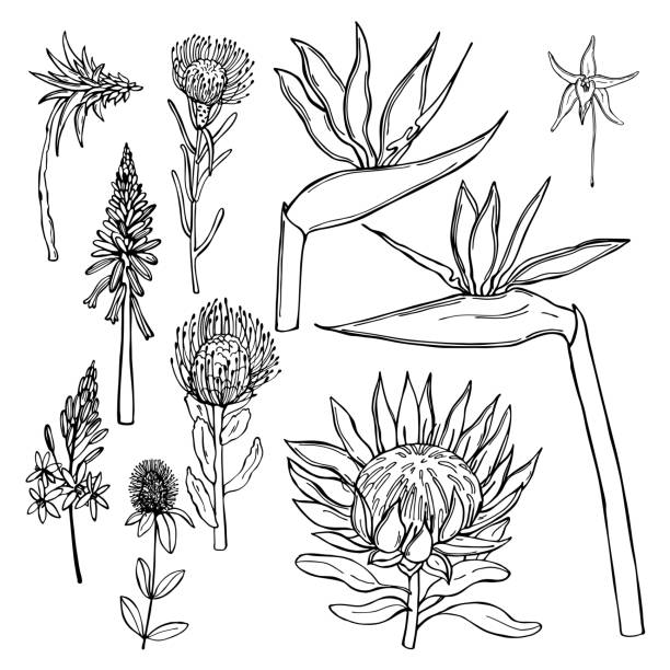 African flowers on white background. Vector  illustration. Hand drawn African flowers on white background. Vector sketch illustration. south africa stock illustrations
