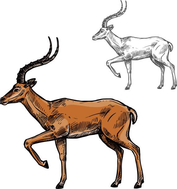 stockillustraties, clipart, cartoons en iconen met afrikaanse gazelle of indische antilope dierlijke schets - antilope