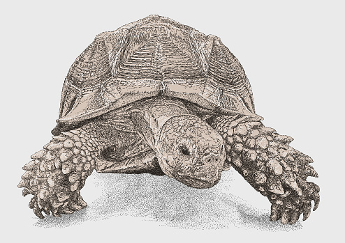 African spurred tortoise Hean On