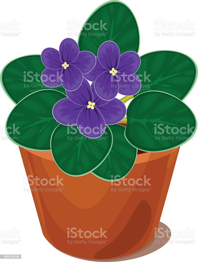 african violet flower in pot