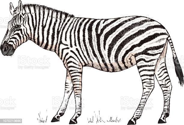 African zebra wild animal on white background striped black white vector id1070213690?b=1&k=6&m=1070213690&s=612x612&h=x2jfggb6esi3bnmw3vi4cb7ib4t3k6nvn49jw30nply=