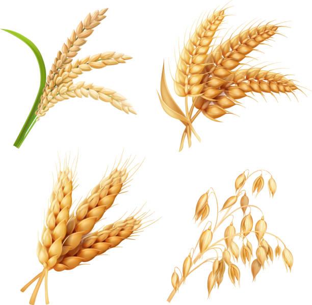tarımsal ürün ayarla pirinç, yulaf, buğday, arpa vektör gerçekçi çizim - buğday stock illustrations