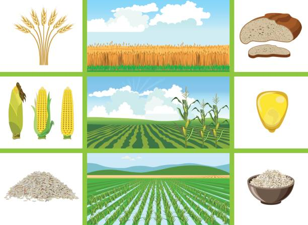 Agricultural fields - wheat, maize, rice. Agricultural fields - wheat, maize, rice. Vector illustrations. corn crop stock illustrations