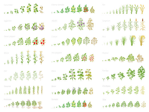 Agricultural plant, growth set animation. Bean, tomato eggplant pepper corn grain and many other. Progression growing plants. Vector flat. Agricultural plant, growth set animation. Cucumber tomato eggplant pepper corn grain and many other. Vector progression growing plants. Growth stages planting flat stock clipart. corn crop stock illustrations