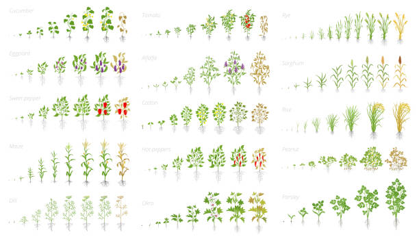 Agricultural plant, growth set animation. Cucumber tomato eggplant pepper corn grain and many other. Vector showing the progression growing plants. Growth stages planting. Agricultural plant, growth set animation. Cucumber tomato eggplant pepper corn grain and many other. Vector showing the progression growing plants. Growth stages planting flat stock clipart. encyclopaedia stock illustrations