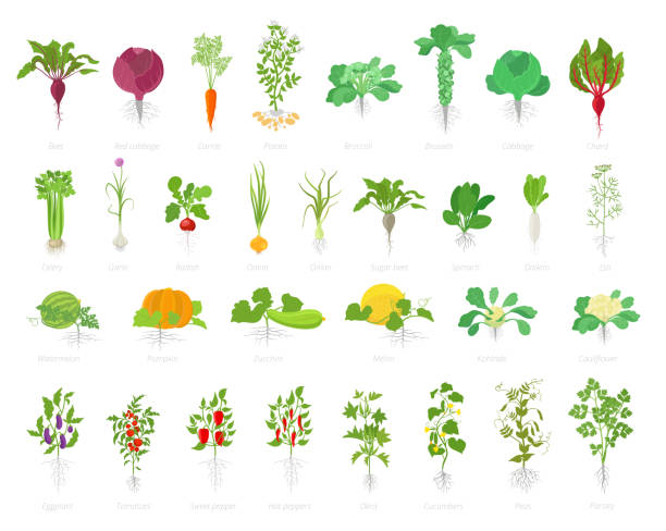 Agricultural plant icon set. Vector farm plants. Beets cabbage carrots potatoes celery garlic and many other. Popular vegetables set. Agricultural plant icon set. Vector farm plants. Beets cabbage carrots potatoes celery garlic. Growth planting popular vegetables set. Flat stock clipart. encyclopaedia stock illustrations