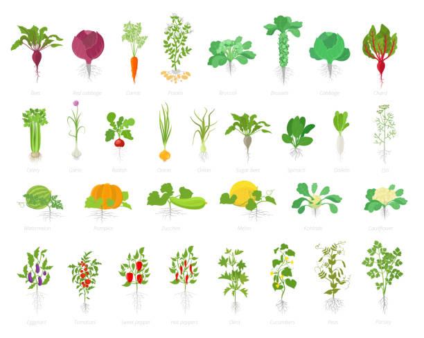 ilustrações de stock, clip art, desenhos animados e ícones de agricultural plant icon set. vector farm plants. beets cabbage carrots potatoes celery garlic and many other. popular vegetables set. - angiospermas