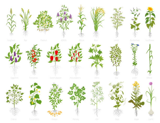 Agricultural plant icon set. Vector farm plants. Cereals wheat alfalfa corn rice soybeans lentils and many other. Popular vegetables set. Agricultural plant icon set. Vector farm plants. Growth planting popular vegetables set. Flat stock clipart. Cereals wheat alfalfa corn rice soybeans lentils sunflower eggplant tomato pepper okra flax cotton and many other. crop plant stock illustrations