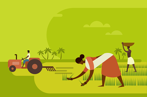 Agricultural workers planting paddy seedlings in the field with a tractor in the background
