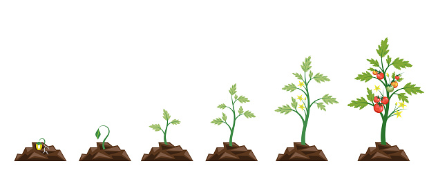 Agriculture.Growth of plant,from seeds sprout to vegetable.Planting tree.Gardening.Timeline.Vector illustration in flat style.Tomato stage growth.Life cycle of tomato leaf,flower and fruit.Infographic