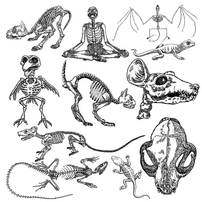 Alchemy symbol elements set. Skeletons and skulls of bird, cat, human, vampire bat, rat, mouse, lizard. Spiritual occultism and chemistry, magic tattoo sketch. Hand drawing Vector.