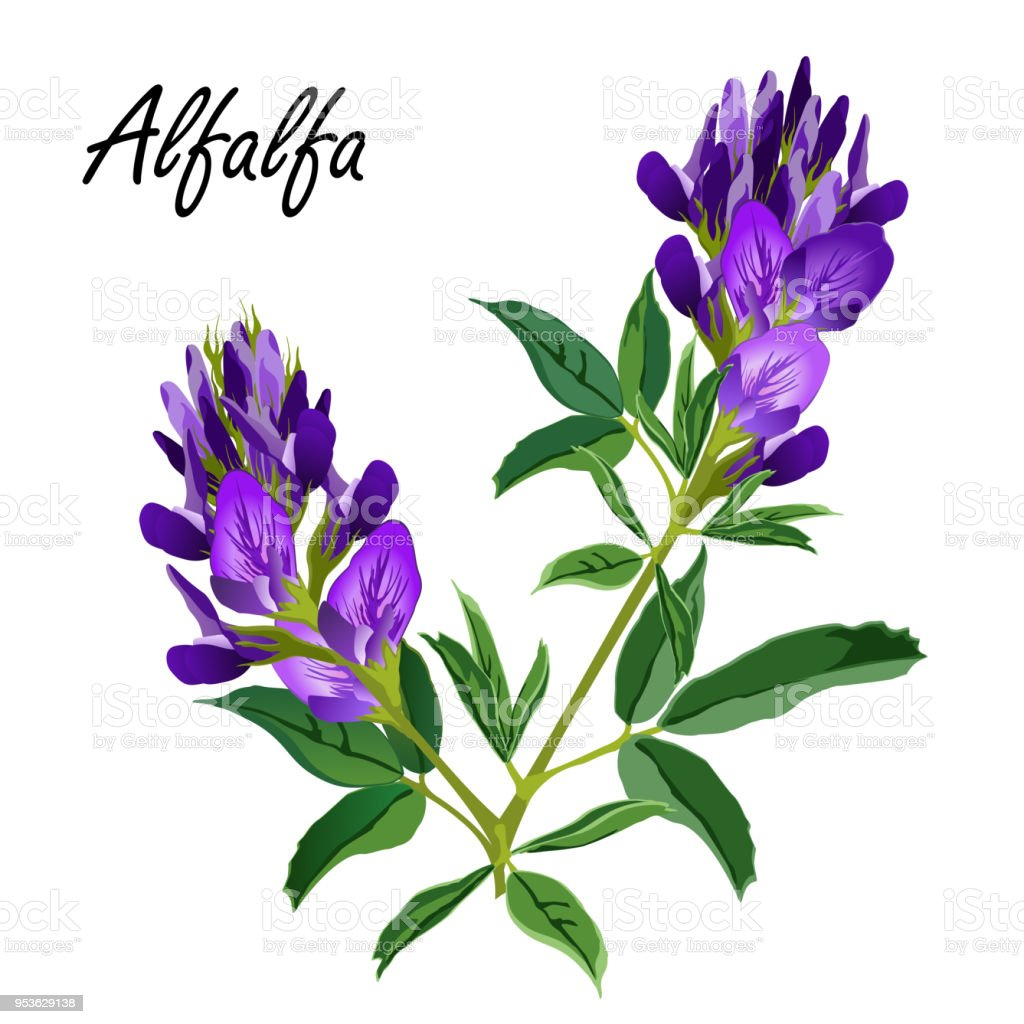 Alfalfa flowers (Medicago sativa, lucerne), vector illustration. vector art illustration