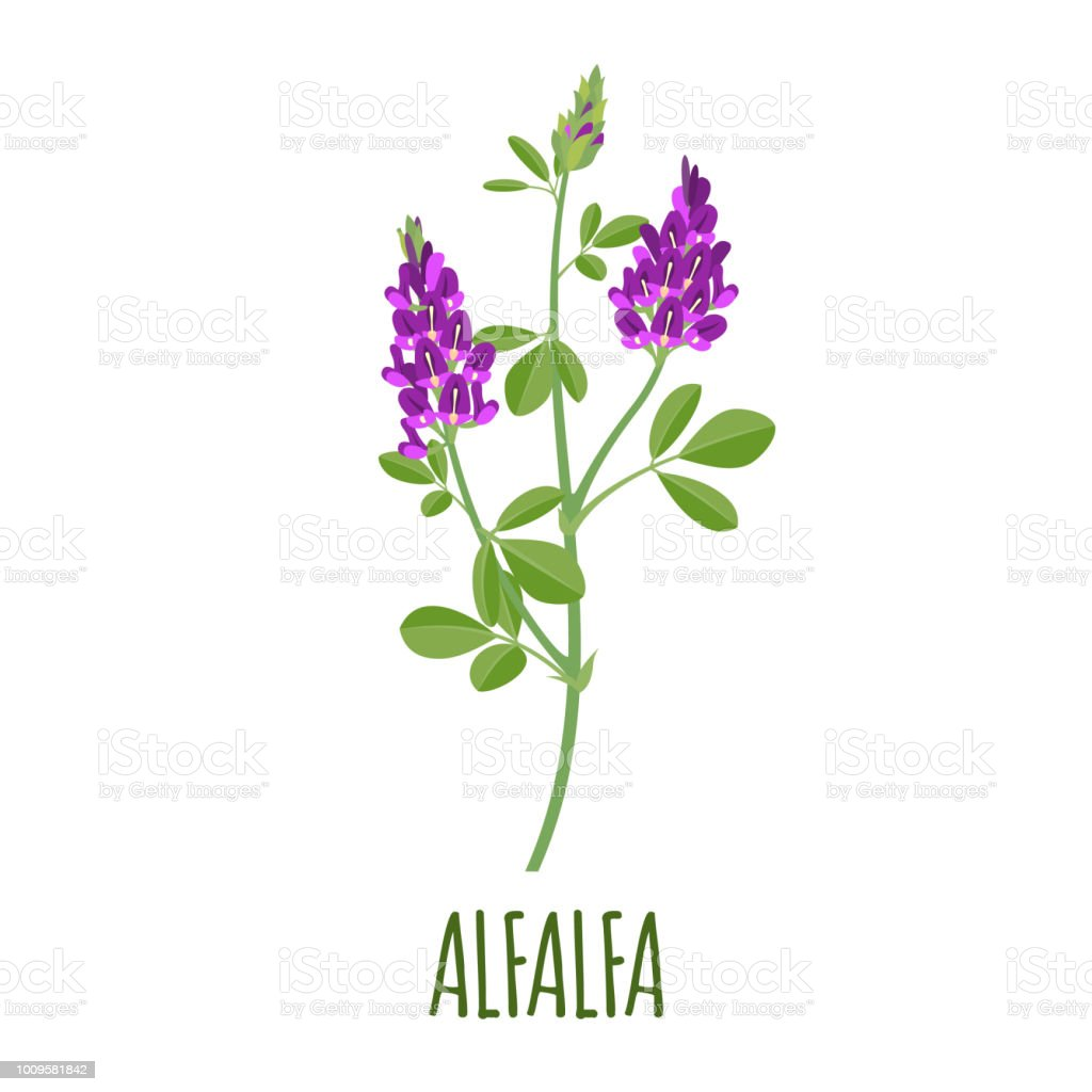 Alfalfa icon in flat style on white background vector art illustration