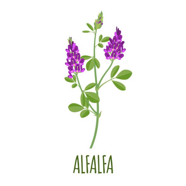 illustrazioni stock, clip art, cartoni animati e icone di tendenza di alfalfa icon in flat style on white background - erba medica