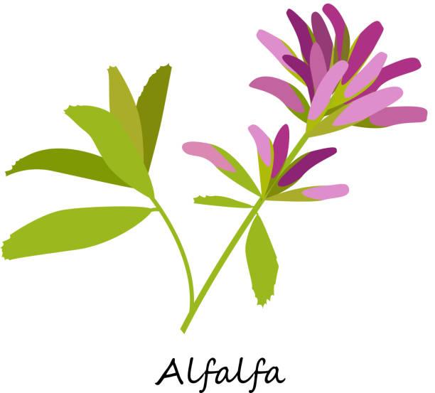 illustrazioni stock, clip art, cartoni animati e icone di tendenza di erba, medicago sativa. fiori selvatici. - erba medica