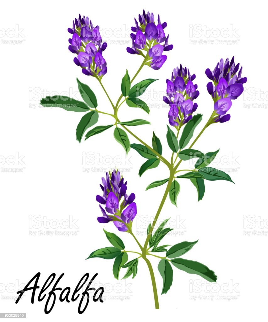 Alfalfa plant with flowers (Medicago sativa, lucerne), vector illustration. vector art illustration