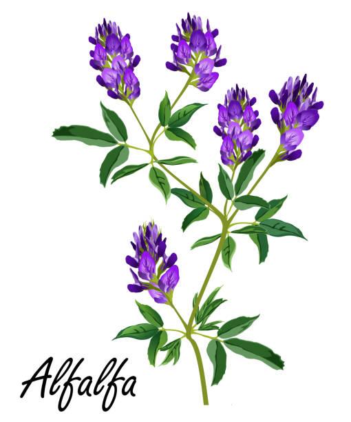 illustrazioni stock, clip art, cartoni animati e icone di tendenza di alfalfa plant with flowers (medicago sativa, lucerne), vector illustration. - erba medica
