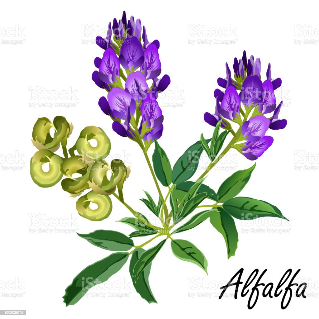 Alfalfa plant with seeds and flowers (Medicago sativa, lucerne), vector illustration. vector art illustration