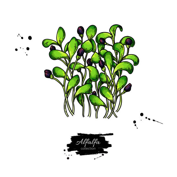 illustrazioni stock, clip art, cartoni animati e icone di tendenza di alfalfa sprouts heap vector drawing. kai wah-rei bunch. - erba medica