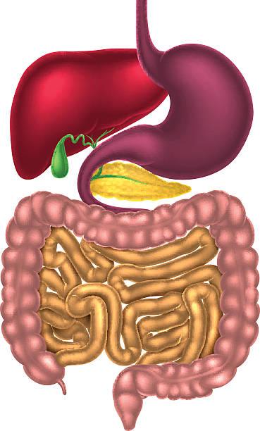 Best Human Digestive System Illustrations  RoyaltyFree