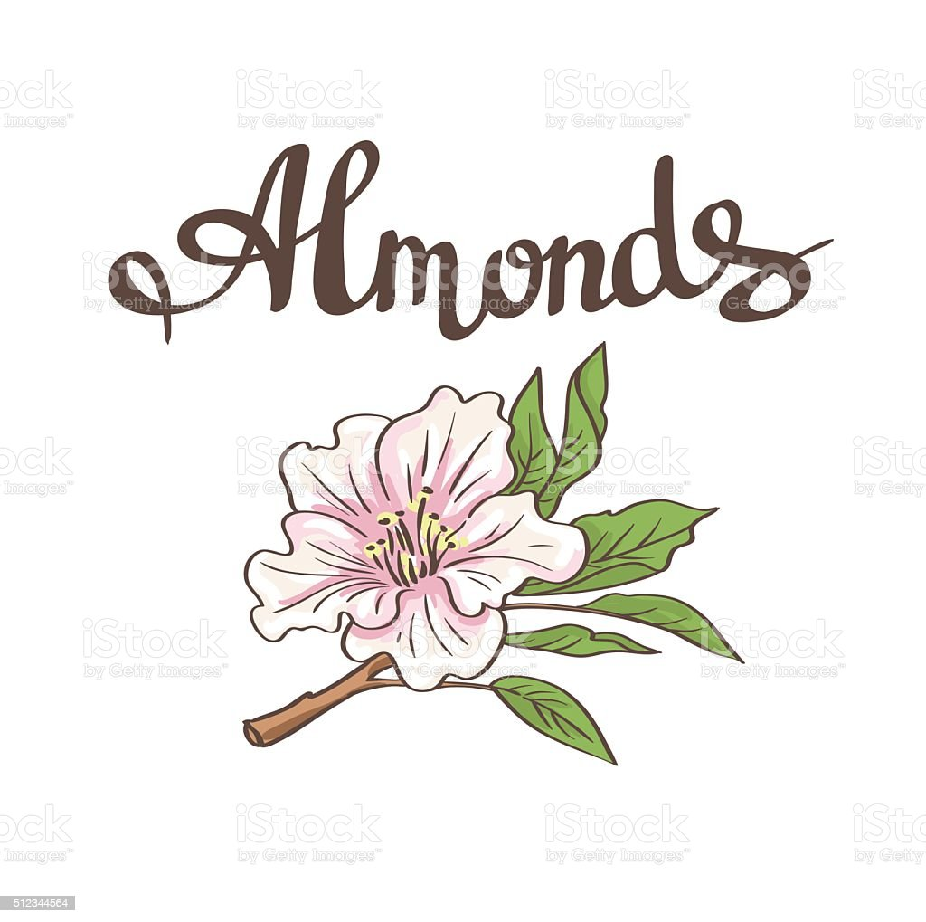 Almond flower. Vector hand drawn illustration vector art illustration