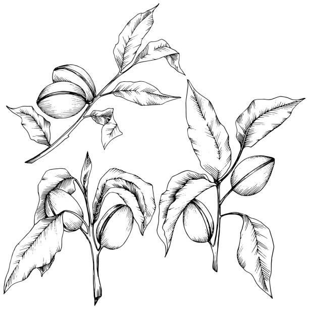 ilustrações de stock, clip art, desenhos animados e ícones de almond in a vector style isolated. isolated illustration element. - natureza close up