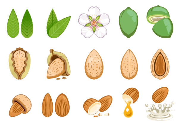 ilustrações de stock, clip art, desenhos animados e ícones de almond seed develop and product from almonds. - amendoas